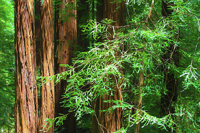 Photograph - Muir Woods Afternoon by Bonnie Follett