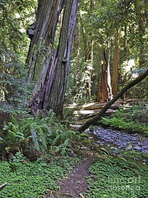 Photograph - Muir Woods Beauty by Joyce Creswell
