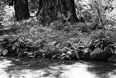 Photograph - Muir Woods Study 10 by Robert Meyers-Lussier