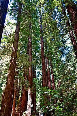 Photograph - Muir Woods Study 16 by Robert Meyers-Lussier