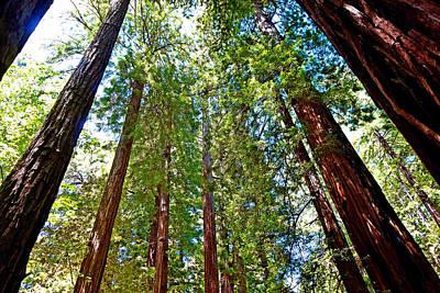 Photograph - Muir Woods Study 18 by Robert Meyers-Lussier