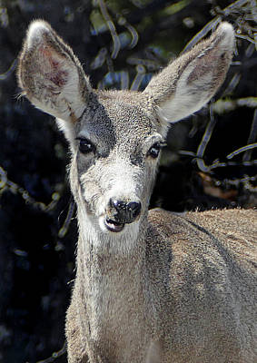 Photograph - Mule Deer 4 by Jeff Brunton