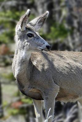 Photograph - Mule Deer 5 by Jeff Brunton