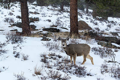 Photograph - Mule Deer - 8922 by Jerry Owens