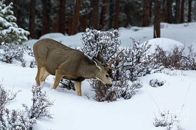 Photograph - Mule Deer - 9130 by Jerry Owens