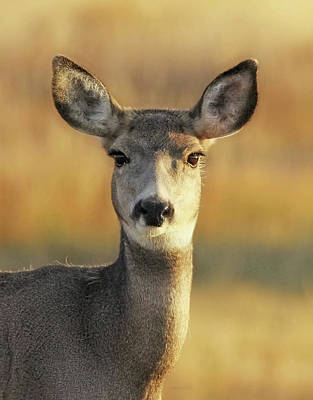 Photograph - Mule Deer Autumn Portrait by Jennie Marie Schell