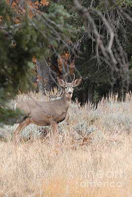 Mule Deer Buck Art Print by Dennis Hammer