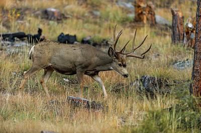 Mule Deer Buck Photograph - Mule Deer Buck In Fall by Gary Langley