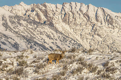 Photograph - Mule Deer Buck In Winter Sun by Yeates Photography