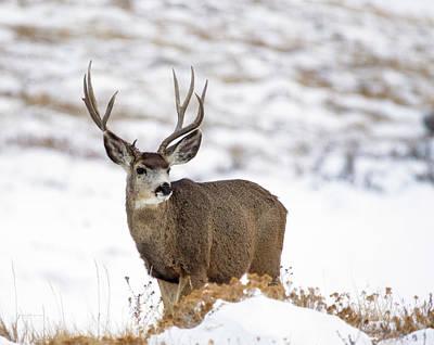 Mule Deer Herd Photograph - Mule Deer Buck by Sam Sherman