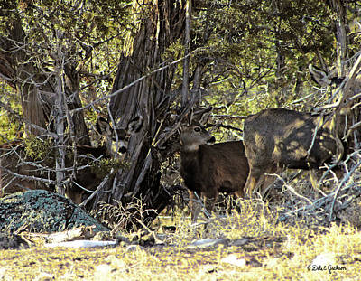 Photograph - Mule Deer Camouflaged In The Shadows by Dale E Jackson
