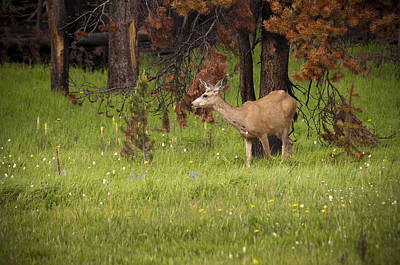 Mule Deer Original by Chad Davis