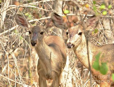Photograph - Mule Deer by Debby Pueschel