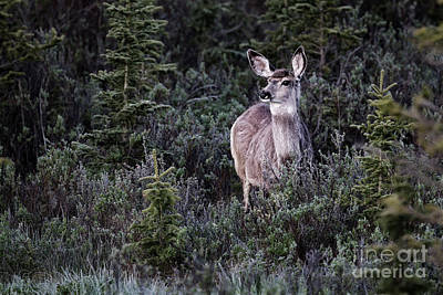 Photograph - Mule Deer Doe by Brad Allen Fine Art