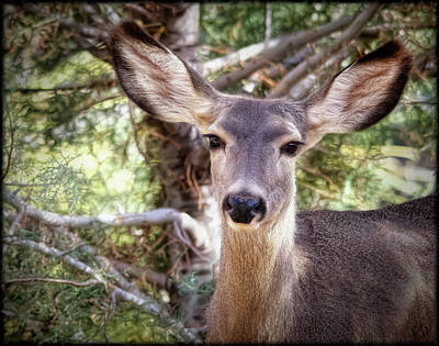 Photograph - Mule Deer Doe by Elaine Malott
