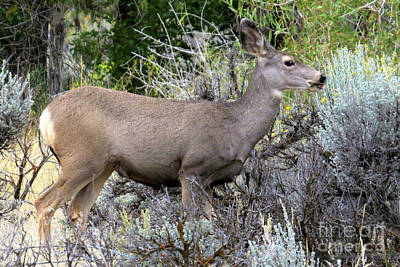 Photograph - Mule Deer Doe by Frank Townsley