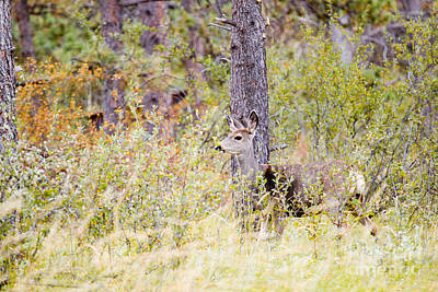 Steven Krull Royalty-Free and Rights-Managed Images - Mule Deer Doe in the Pike National Forest by Steven Krull