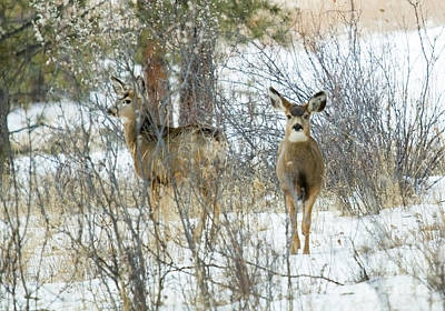 Steve Krull Royalty-Free and Rights-Managed Images - Mule Deer Does in Snow by Steve Krull