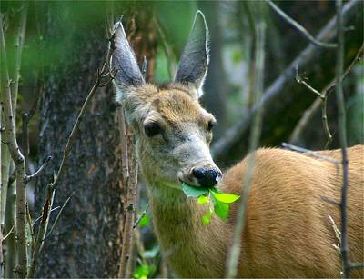 Mule Deer Eating Aspen Leaves Art Print