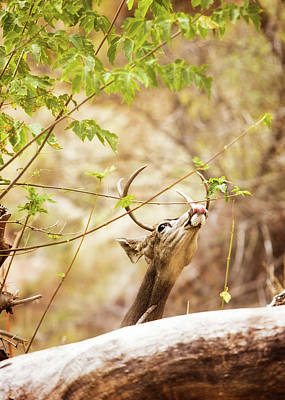 Mule Deer Buck Photograph - Mule Deer Eating Off Tree by Susan Schmitz