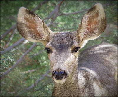 Photograph - Mule Deer by Elaine Malott