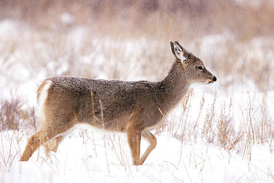 Photograph - Mule Deer Fawn In The Snow by Alyce Taylor