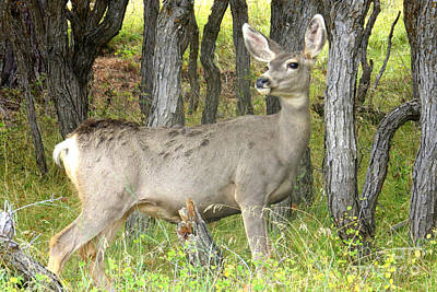 Photograph - Mule Deer by Frank Townsley