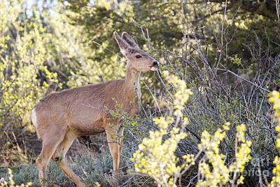 Steven Krull Royalty-Free and Rights-Managed Images - Mule Deer in Garden of the Gods by Steven Krull