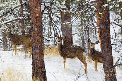 Steven Krull Royalty-Free and Rights-Managed Images - Mule Deer in Heavy Snow in the Pike National Forest by Steven Krull