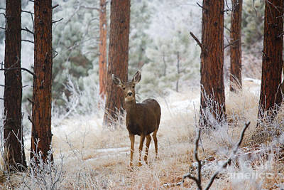 Photograph - Mule Deer In Snowstorm On Bald Mountain by Steve Krull