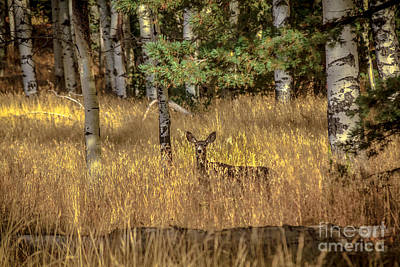 Photograph - Mule Deer In The Aspens by Robert Bales