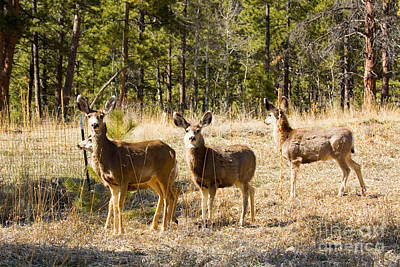 Steven Krull Royalty-Free and Rights-Managed Images - Mule Deer in the Back Yard by Steven Krull