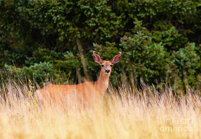 Photograph - Mule Deer In The Rockies by Steve Krull