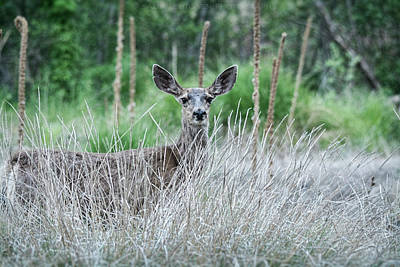 Photograph - Mule Deer In The Woods  by Saija Lehtonen