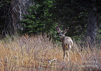 Photograph - Mule Deer In Utah by Cindy Murphy - NightVisions