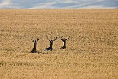 Mule Deer In Wheat Field Art Print by Mark Duffy
