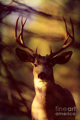 Strong America Photograph - Mule Deer by John Hyde - Printscapes
