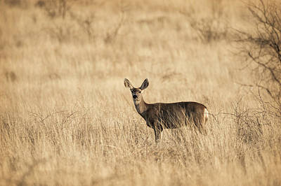 Photograph - Mule Deer On The Prairie  by Saija Lehtonen