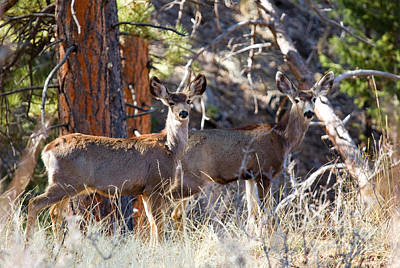 Steven Krull Royalty-Free and Rights-Managed Images - Mule Deer on the Trail to Bald Mountain by Steven Krull
