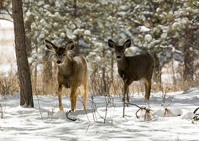 Steven Krull Royalty-Free and Rights-Managed Images - Mule Deer on Winter Walk by Steven Krull