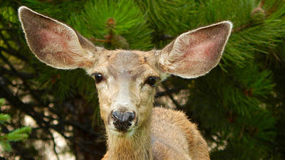 Photograph - Mule Deer Portrait by Dan Miller