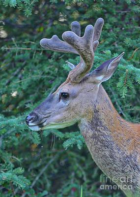 Photograph - Mule Deer Profile by Carol Groenen
