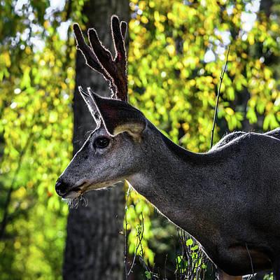 Photograph - Mule Deer Profile - Square Format by Debra Martz