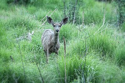 Photograph - Mule Deer  by Saija Lehtonen