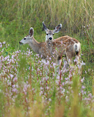 Twin Fawns Photograph - Mule Deer Twins by Gary Langley