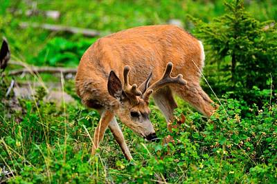 Photograph - Mule Deer by Walt Sterneman