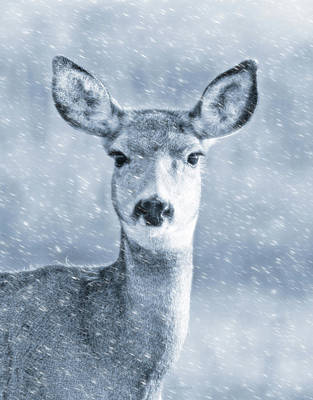 Photograph - Mule Deer Winter Portrait Blue by Jennie Marie Schell