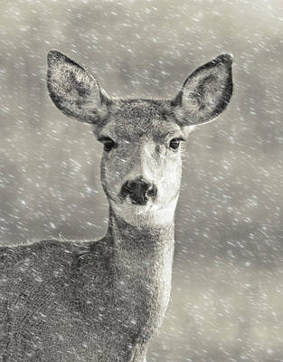 Photograph - Mule Deer Winter Portrait by Jennie Marie Schell
