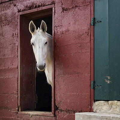 Photograph - Mule Hermann Farm Mo Dsc2187_16 by Greg Kluempers
