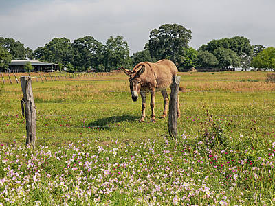Photograph - Mule In Wildflowers by Charles McKelroy